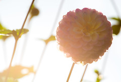 Dahlia Sunset (The Crewe Chronicler) Tags: sun sunset dahlias dahlia nature homegrown garden gardening gardens canon canon7dmarkii lseries lserieslens