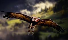 Vulture in Flight (Delbrckerin) Tags: vulture geier greifvogel vogel bird outdoor tier animal nikond90 sigma150600mm