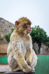 Portrait of a Barbary macaque (TimOve) Tags: vacation ferie trip summer sommer barbarymacaque rockape monkey portrait gibraltar therock furry