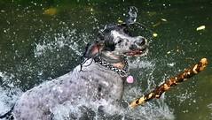 ~~ Le bton ! ~~ (Jolisa) Tags: hlna chien dog jeu eau bton gouttelettes claboussures fun drle septembre2016