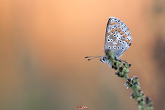 Bluling mit Tropfen 10.jpg (oliver r.) Tags: canon tamron macro makro nature natur insect insekt wildlife outdoor bluling schmetterling butterfly falter wasser water tropfen drops wassertropfen waterdrops tau morgentau
