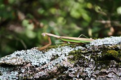 Whatchu lookin' at? (BSendelbach) Tags: insects mantid