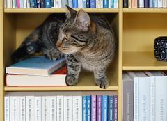 Bookcase Cat (Ghita Katz Olsen) Tags: cat pet animal tabby bookcase books
