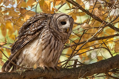 Puffed Up Barred Owl (NicoleW0000) Tags: barred owl bird prey talons fall wild wildlife photography