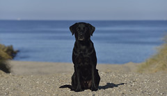 Buddy at the sea (Flemming Andersen) Tags: retriever blue black water sand dog buddy sea