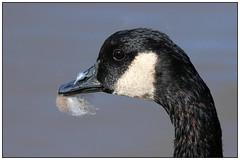 Canada Goose (Sandy Paiement) Tags: brantacanadensis canadagoose