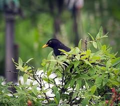Blackbird (hedera.baltica) Tags: blackbird commonblackbird eurasianblackbird kos koszwyczajny turdusmerula