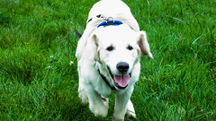 Charlie 21.5 weeks old (Mark Rainbird) Tags: canon charlie dog powershots100 puppy retriever uk ufton uftonnervet england unitedkingdom