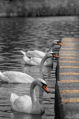 line of swans feeding,middlewich canal (richard lane1971) Tags: yahoo:yourpictures=waterv2
