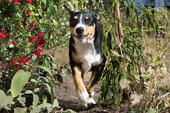 Shortcut (Thaddz) Tags: dog puppy entlebucher entlebuchermountaindog
