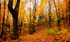 October Hillside (Mark Deisinger) Tags: autumn trees orange minnesota forest october northshore obergmountain