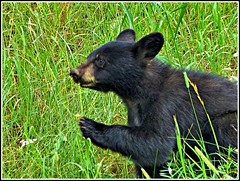 Bear Cub (Suzanham) Tags: bear nature animal yellowstonenationalpark thegalaxy intouchwithnature fantasticnature absolutelyperrrfect