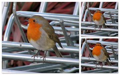 Go away.. It's not Christmas yet..! (Mike-Lee) Tags: robin collage picasa notchristmas oct2012