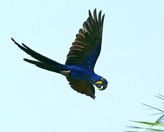 Hyacinth Macaw (Susan Roehl - Offline) Tags: nature amazing ngc naturesfinest supershot damniwishidtakenthat coth5 naturescarousel brazil2012 sunrays5 freedomtosoarlevel1birdphotosonly freedomtosoarlevel2birdphotosonly freedomtosoarlevel3birdphotosonly sjohnsonsfaunahighqualityimages freedomtosoarlevel3birdsonly freedomtosoarlevel3birsdonly