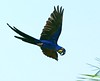 Hyacinth Macaw (Susan Roehl) Tags: nature amazing ngc naturesfinest supershot damniwishidtakenthat coth5 naturescarousel brazil2012 sunrays5 freedomtosoarlevel1birdphotosonly freedomtosoarlevel2birdphotosonly freedomtosoarlevel3birdphotosonly sjohnsonsfaunahighqualityimages freedomtosoarlevel3birdsonly freedomtosoarlevel3birsdonly