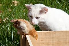 Curiosity (Juan Antonio Cap) Tags: bird chicken animal cat canon kat feline chat beak feathers gato ave pico felino katze mace  gatto  kot gat koka kedi kissa kttur maka kucing pusa gallina plumas mo moix    minino pollito    pisic plumn   canoneos5dmarkii