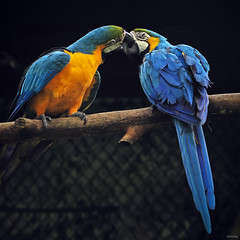 Passionate kiss (-clicking-) Tags: lighting blue light love nature beautiful beauty birds square zoo wings kiss kissing natural vibrant feathers vivid parrot moment 500x500 blueparrot highqualityanimals