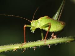 Hoppin' Nowhere Fast (Ger Bosma) Tags: cricket grasshopper sprinkhaan bushcricket struiksprinkhaan leptophyespunctatissima speckledbushcricket punktiertezartschrecke img60260