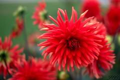 Red Fuzzy (fs999) Tags: red flower macro rot fleur rouge paintshop pentax bokeh burma free sigma iso paintshoppro luxembourg blume makro luxemburg k5 corel bloem aficionados pentaxist 30mm artcafe ltzebuerg sigma30mmf14exdc sigma30 masterphotos 80iso pentaxian elitephotography ashotadayorso macrolife justpentax topqualityimage zinzins flickrlovers topqualityimageonly fs999 fschneider pentaxart keispelt pentaxk5 x5ultimate paintshopprox5ultimate