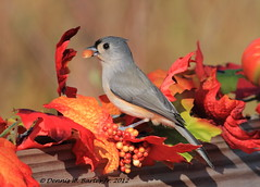 Tufted Titmouse (DBartesJr. I hate this format) Tags: winter bird gray peanut titmouse tufted tuftedtitmouse supershot specanimal