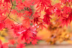 Dancing leaves (ZedBee | Zo Power) Tags: autumn red fall leaves rouge golden movement warmth acer mapleleaves 50mmf14 westonbirtarboretum niftyfifty