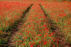 Hay un camino bajo tus pies esperndote (Diego Miras) Tags: red flores way spain rojo camino poppy poppies montcada amapolas amapola campodeamapolas