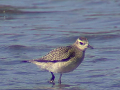 American Golden-Plover, immature, Florida, Oct (Malcolm Mark Swan) Tags: florida immature americangoldenplover pluvialisdominica