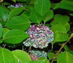 Autumn Hydrangea (Lochaven) Tags: rain night hydrangea colorphotoaward
