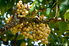 Lanzones (gogo159) Tags: tree fruit island branch sweet philippines round tropical camiguin tropicalfruit exoticfruit lanzones camiguinisland
