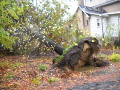 Uprooted tree from Storm Sandy