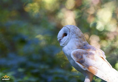 Yes another Owl (sarniebill1 Heavy workload, catch up soon) Tags: owl barnowl worldowltrust specanimal whiteghost sarniebill1 scottishowlcenter barnowlproject