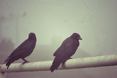 Untitled (Electra_star) Tags: black halloween fog crows