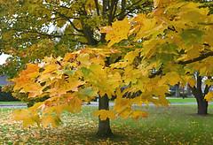 Village green (jenniemay2011) Tags: autumn orange green yellow nikon acer mapletree d5100 jenniemay