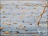 Mudskipper (Bo_Ya3GooB) Tags: kuwait mudskipper كويت الطين نطاط