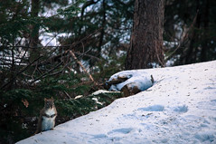 Tough Times (joeri-c) Tags: park trees winter wild snow canada animal rodent nikon squirrel novascotia ns wildlife nikkor survival dartmouth shubie hrm lightroom urbanpark sciuridae 1685 shubiepark d5000 halifaxregionalmunicipality 1685mm nikkor1685 nikkor1685mm nikond5000 lightroom4