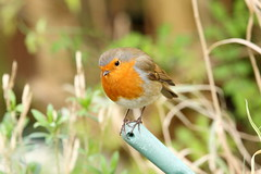 IMG_2514_6x4 (Ancross) Tags: bird up robin closeup close erithacus 2012 rubecula
