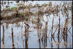 Corn... (BrinksFotografie) Tags: macro water river corn nikon natuur mais kampen ijssel zwolle rivier 105mm kiron 105mmf28 hoogwater stoppels zalk maisland d700