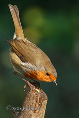 Robin (Nigel Dell) Tags: winter robin birds flickr wildlife places hampshire fleet fsg ngdphotos