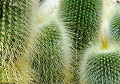 Beautiful Defense (Annette LeDuff) Tags: cactus nature favorited matthaeibotanicalgardens linescurves annarbormi intouchwithnature thebeautyofnature cactisucculentsandbulbplants mastersoflight therubyawards fabulousfoliage coth5 ümithopeesperança macroartnews floraaroundtheworld ruby10 ruby5 photoannetteleduff annetteleduff imaginesetphantasmata administrationexquisite 01132012 chariotsofnaturelevel1 thelooklevel1red ourwonderfulandfragileworld 06162012 rainbowofnaturelevel1red