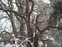 Trees in snow, Breakneck Hill (terryjh) Tags: wintertrees lightsnow teignmouth breakneckhill