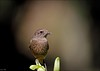 Pied Bush Chat (Saxicola caprata) (Gurusan2010) Tags: female