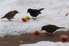Starlings Apple-Dance (picaddict) Tags: winter snow birds germany star terrace starling apples maleblackbird femaleblackbird amseln vogel pluwig