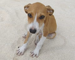 Beach puppy (langkawi) Tags: almost irresistable puppy eyes welpe jamaica beach strand sand hund langkawi