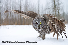 Great Gray Owl (Michael Cummings) Tags: brown ontario canada nature birds animals wildlife ottawa ngc greatgrayowl wildlifephotographer birdpics naturephotography animalphotography wildlifephotography naturepics birdpictures animalpics animalphotograph naturephotograph michaelcummings wildlifepics wildlifephotograph blackbirdphotography greatgrayowlpictures greatgrayowlpics greatgrayowlphotography