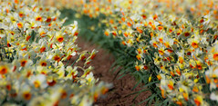Meeting place (snowyturner) Tags: flowers panorama orange field yellow cornwall 300mm rows daffodils rame cultivation