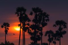 Sunset (Pond Pisut) Tags: sunset tree me nature silhouette landscape twilight natural o before palm sugar naturelover naturescape sugarpalm d7000 dpwnload landscapelover