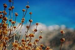 Dry flowers - Carl Zeiss Jena DDR Sonnar 135/3,5 (petrwag) Tags: bokeh crete carlzeiss