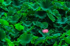 In the lotus field (aotaro) Tags: greenleaves green leaves japan tokyo alone lotus lotusflower lotusleaves yakushiikepark sal70300g ilce7m2