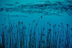 Waiting for sunrise.... (tomk630) Tags: virginia potomac river reeds sunrise nature usa