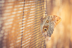 Common Owl Butterfly (lisastein92) Tags: butterfly insect bokeh lines pattern golden canon6d macro depthoffield texture